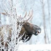 Столичные лоси вышли на МКАД. Новости о лосях (ВИДЕО)