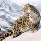 Новости о снежных барсах - ирбисах (ВИДЕО). Февраль 2012