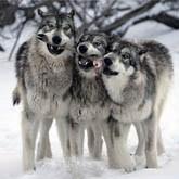 В России волков отстреливают, а в Мексике - разводят. Новости о волках