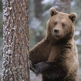 В Красноярском крае медведь задрал охотника. Новости о медведях (ВИДЕО)