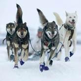 Стартовали гонки на собачьих упряжках Калевала-2012 и Берингия-2012 (ВИДЕО)