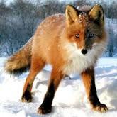 Лиса-грабитель  и другие новости о лисах. Март 2012