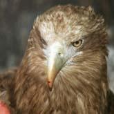 Перепись птиц, бои куропаток и другие новости о птицах