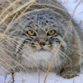 На диких котов-манулов ставят фотоловушки и одевают ошейники