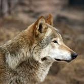Новости о волках и волкособах