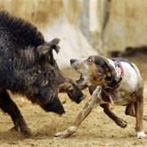 Охотовед создал кабаносвинов для притравки собак по кабану