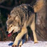 В Крыму пройдет самая масштабная за последние десятилетия облава на волков