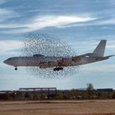 Столкновение самолета со стаей гусей и другие новости о птицах