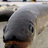 В Ладожском озере появилась корюшка (ВИДЕО)