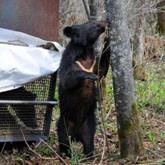 Новости о медведях и медвежатах. Май 2012