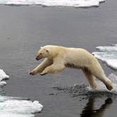 Новости о белых медведях в мае 2012