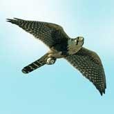 Соколы, совы, сарычи и вороны: Польза и вред диких птиц