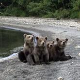 Охота на медведя, медвежий патруль, медвежьи квоты на рыбу и другие новости о медведях