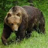 Камчатских медведей считают с вертолета и снимают в кино