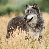 За волка дадут 30000 рублей или лицензию на лося. Новости охоты
