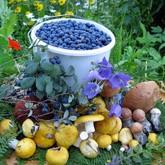 Открылся сезон тихой охоты: Пора собирать грибы и ягоды