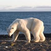 Белых медведей  показывают в Шереметьево