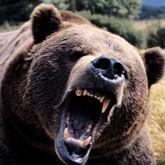 Медведи идут в города и нападают на местных жителей