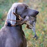 Открытие охоты 2012: Сезон охоты на дичь с охотничьими собаками