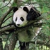 О кабанах, пандах, птицах, енотах и олимпиаде среди животных