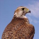 Арабские охотничьи соколы на отдыхе и спасение хищных птиц