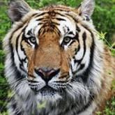 Китай мечтает вернуть маньчжурских тигров, эмигрировавших в Россию