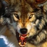 Волки охраняют, нападают и подлежат отстрелу