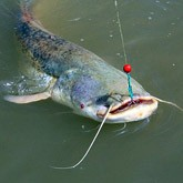 Рыбачьи уловы: большие сомы и гранатомет