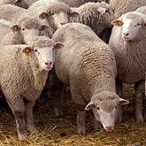 SMS от овцы, редкие обезьяны и конкурс красоты среди мертвых опоссумов