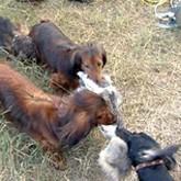 Охотничьи «диванные» собаки, выставка охотничьих  собак и лабрадор-эколог