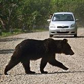 Норвежец объехал лося и сбил медведя