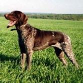 Натаска легавых собак в Долголуговском охотхозяйстве