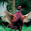 Охотана фазана